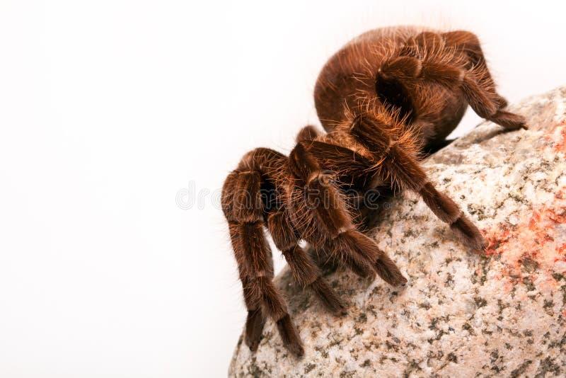 Tarantula lizenzfreies stockbild