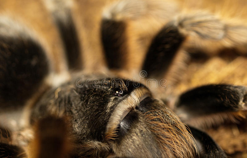 Tarantula. Very close to Grammostola alticeps royalty free stock images
