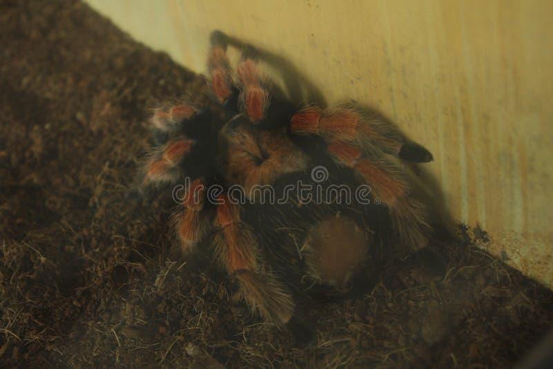 tarantula photos stock