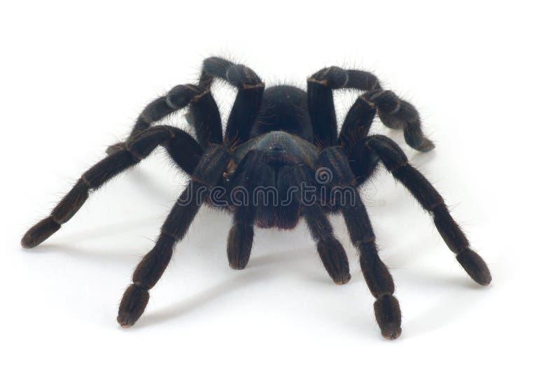 tarantula στοκ φωτογραφία με δικαίωμα ελεύθερης χρήσης