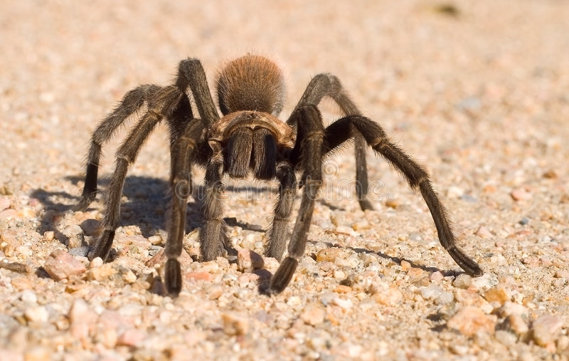Download Tarantula stock photo. Image of sand, scary, ouch, bite - 3997428