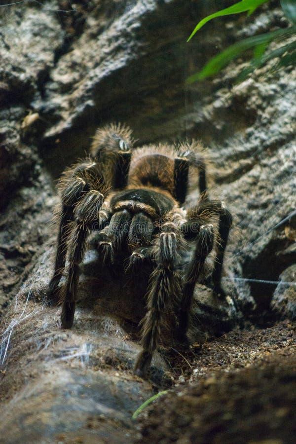 tarantula fotografia stock libera da diritti