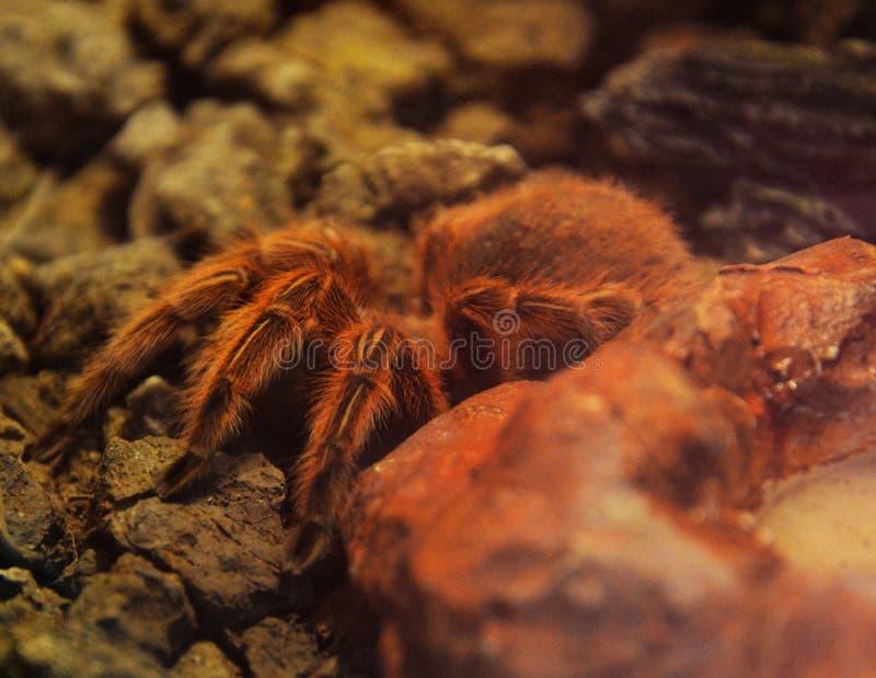 tarantula стоковая фотография rf
