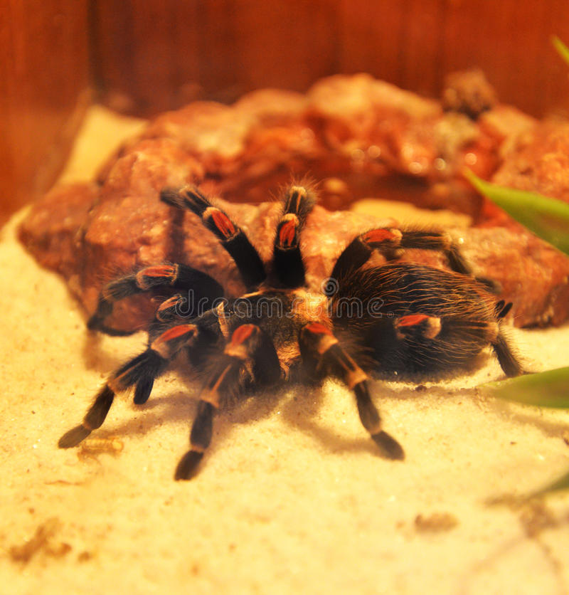 tarantula стоковое фото
