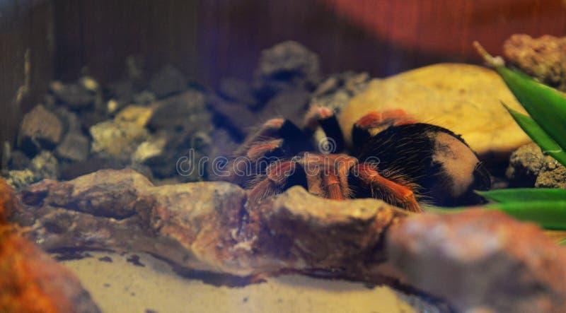 tarantula стоковые изображения