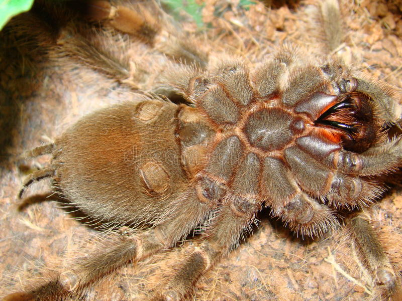 tarantula zdjęcia royalty free