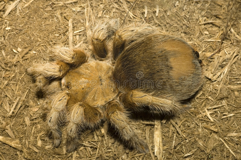 Download Tarantula stock photo. Image of greep, interesting, large - 8121348