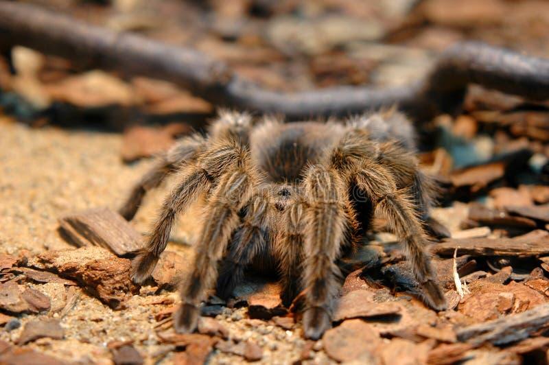 Tarantula immagine stock
