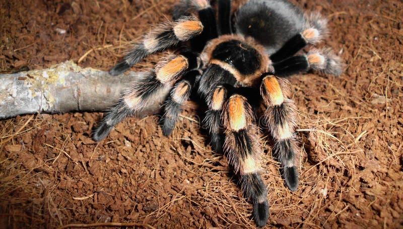 tarantula royalty-vrije stock afbeeldingen