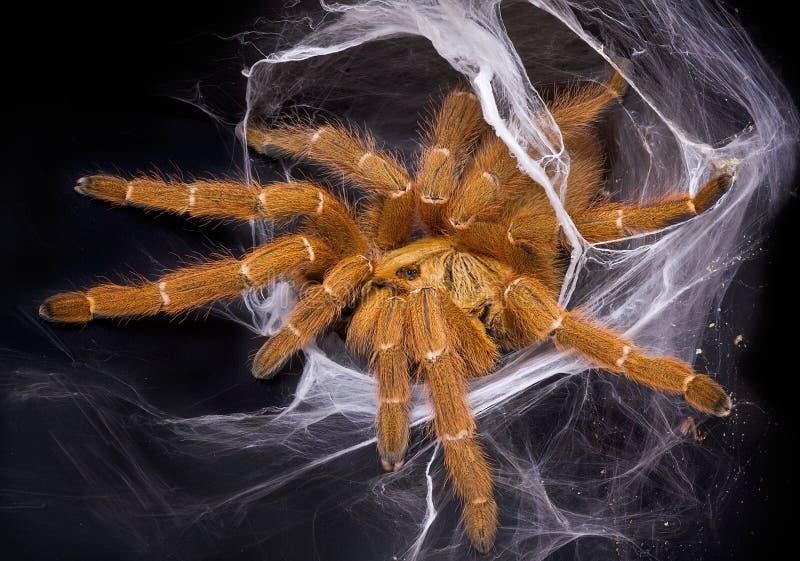 Tarantula anaranjado en Web fotografía de archivo libre de regalías