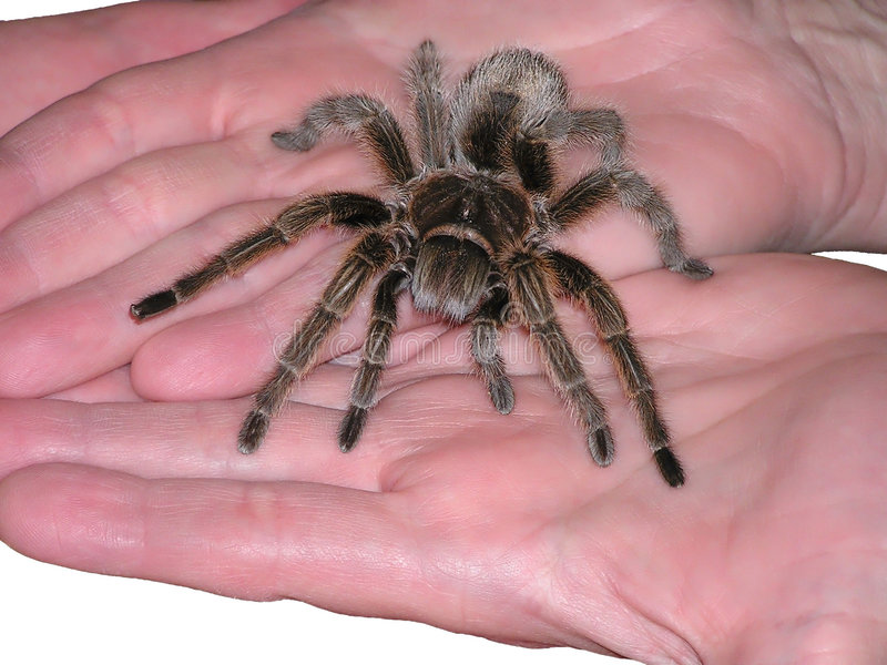 Tarantula auf Angebot lizenzfreie stockfotos