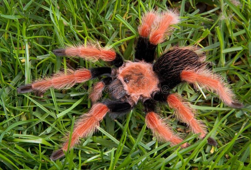 Tarantula auf Gras lizenzfreies stockfoto