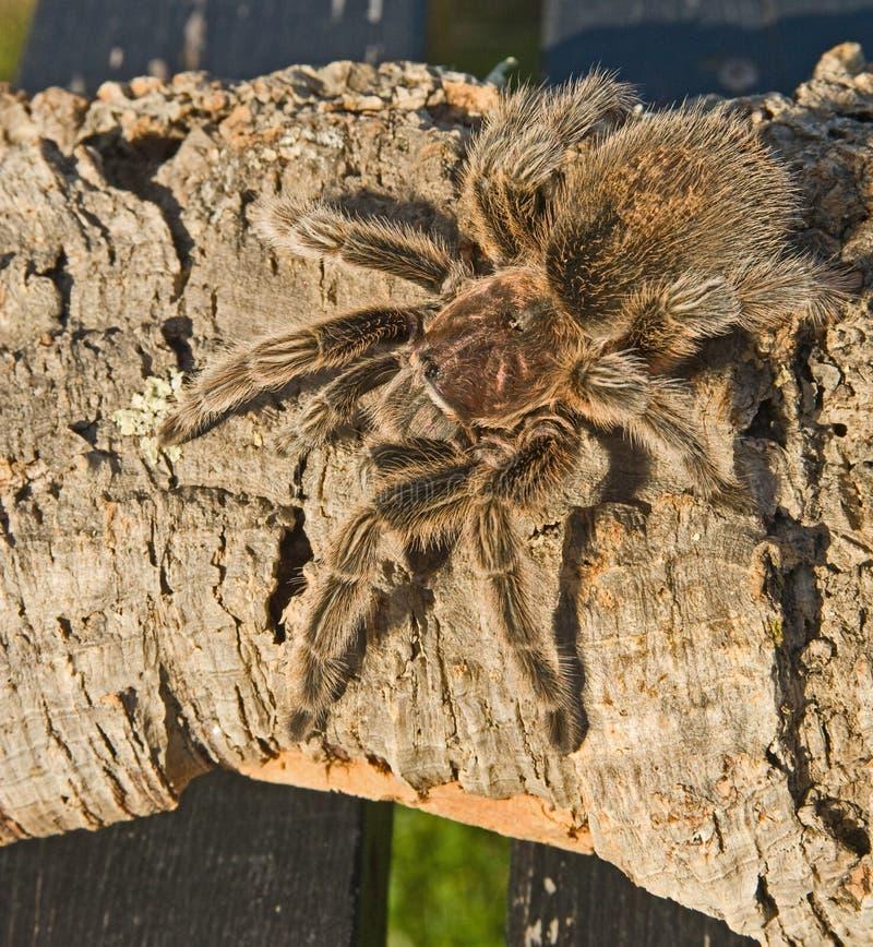Tarantula auf rauem Holz. stockfotos