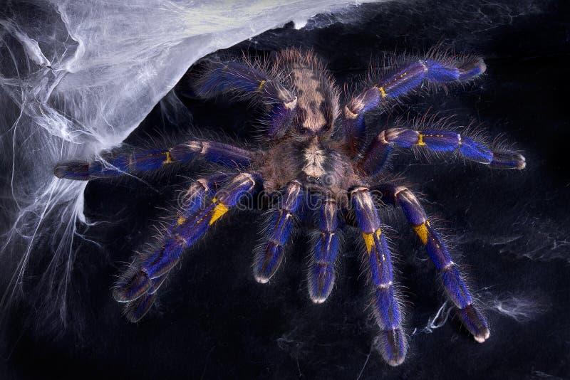 Tarantula azul cerca del Web imagenes de archivo