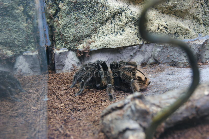 Tarantula behind the glass at the zoo stock photos