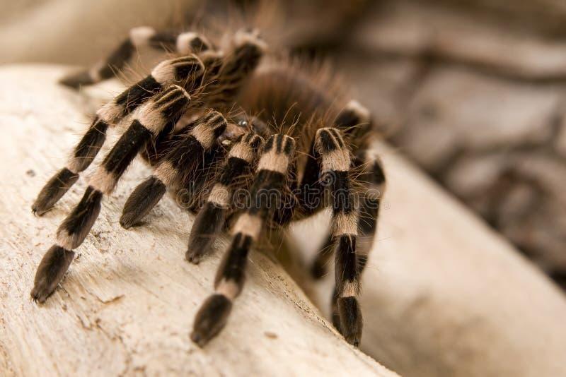 Tarantula blanco brasileño de la rodilla fotografía de archivo
