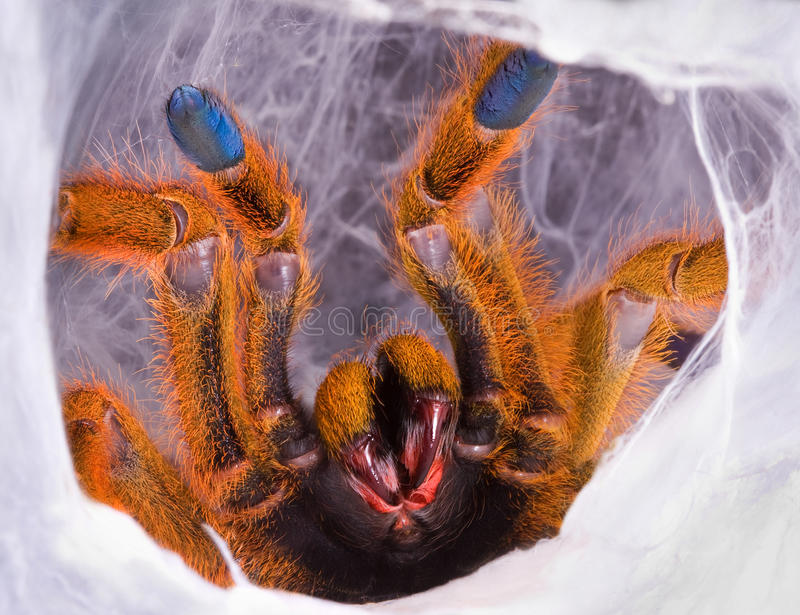 Tarantula che mostra le zanne immagini stock libere da diritti