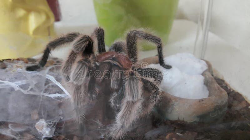 Tarantula from chile royalty free stock photo