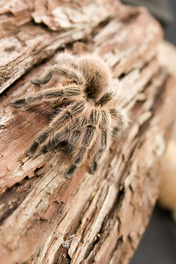 Tarantula close-up royalty free stock photos