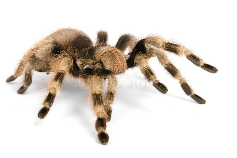 tarantula czarny brazylijski biel zdjęcia royalty free