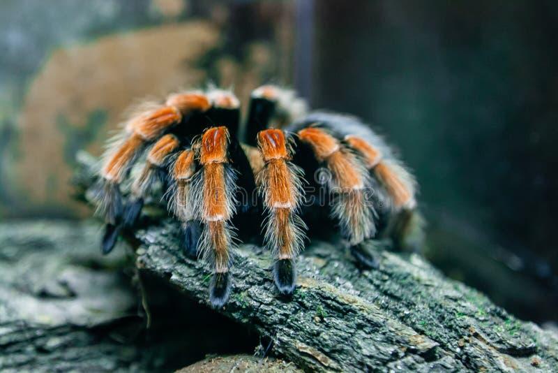 Tarantula d'araignée images libres de droits