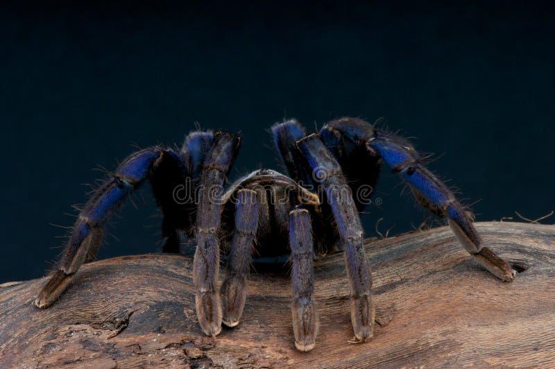 Tarantula de bleu de cobalt photographie stock