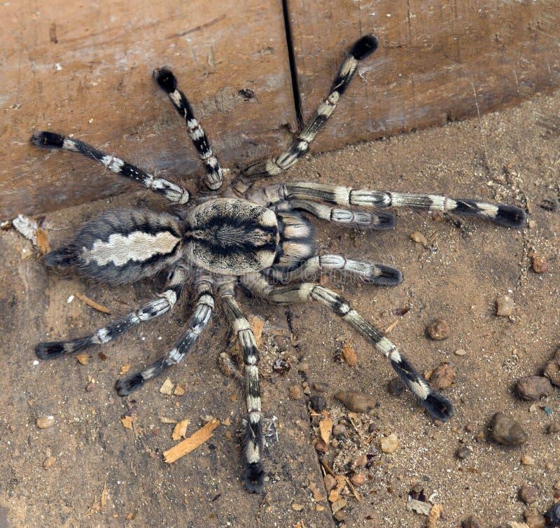 Tarantula de la araña imagenes de archivo