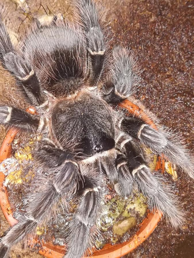 Tarantula. A tarantula drinking stock photo