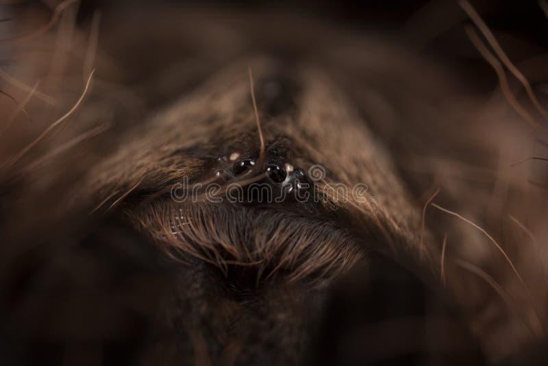 Tarantula Eyes Stock Image Image Of Tarantulla Detail - 24 detailed close ups of animal eyes