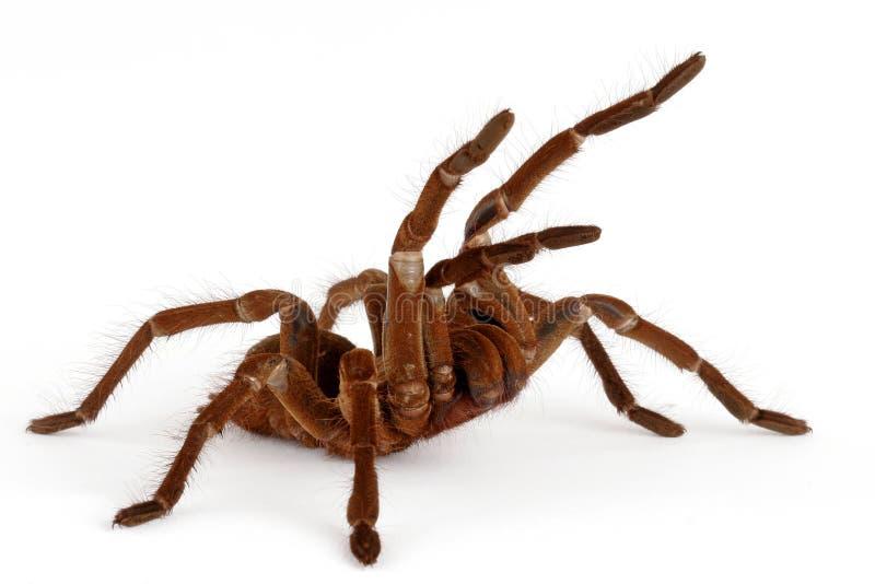 tarantula goliath birdeater стоковое фото