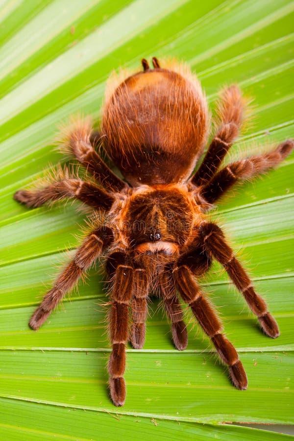 Tarantula grande en la hoja fotografía de archivo