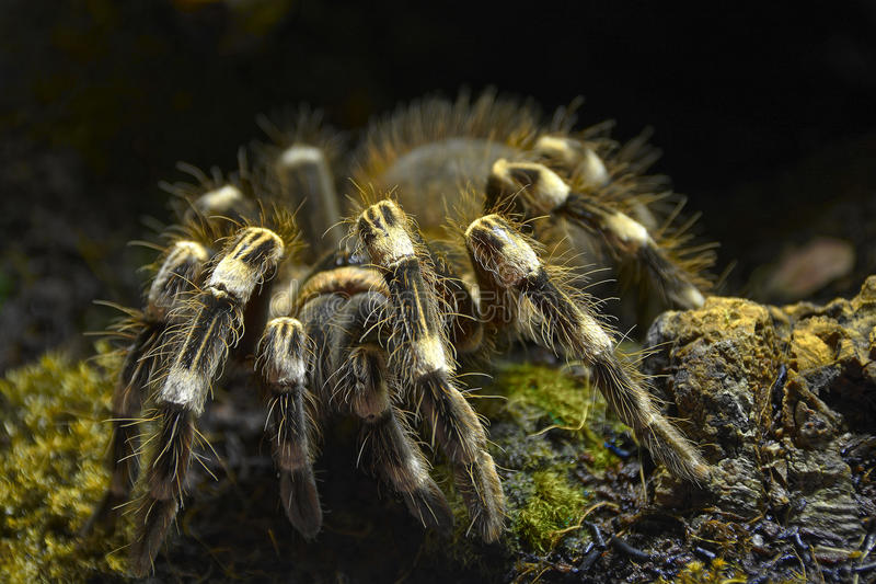 Tarantula - Lasiodora parahybana. The Brazilian Salmon Pink Bird-eating Tarantula (Lasiodora parahybana), also simply known as the Salmon Pink or LP, is a stock photography