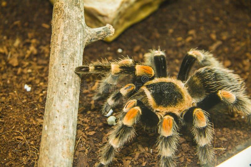 Tarantula. Macro of a spanish tarantula (lycosa hispanica royalty free stock photos