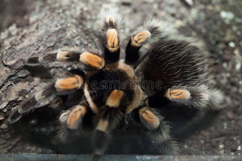 Tarantula mexicain de Redknee (smithi de Brachypelma) photographie stock libre de droits