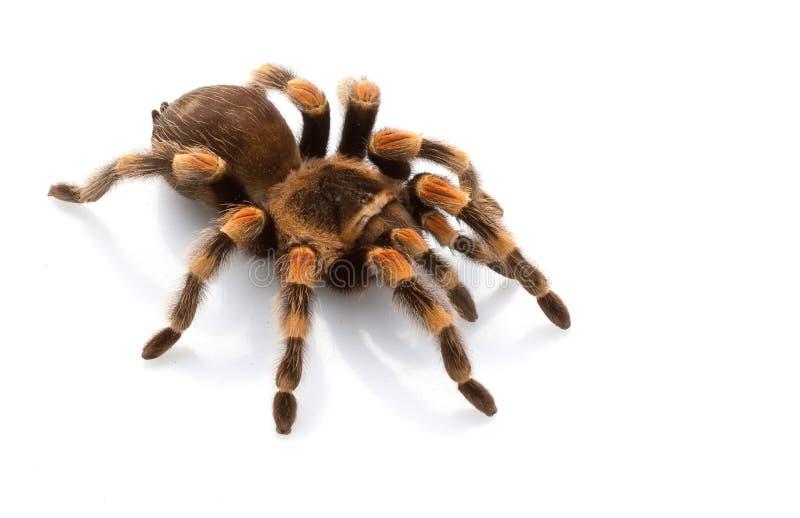 Tarantula mexicano de Redknee fotografía de archivo