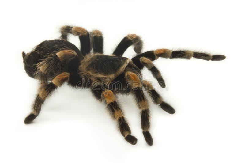 Tarantula mexicano de Redknee en blanco imagenes de archivo