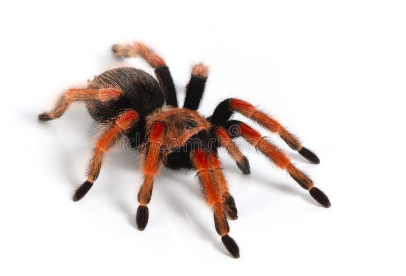 Tarantula mexicano del redknee imagen de archivo libre de regalías