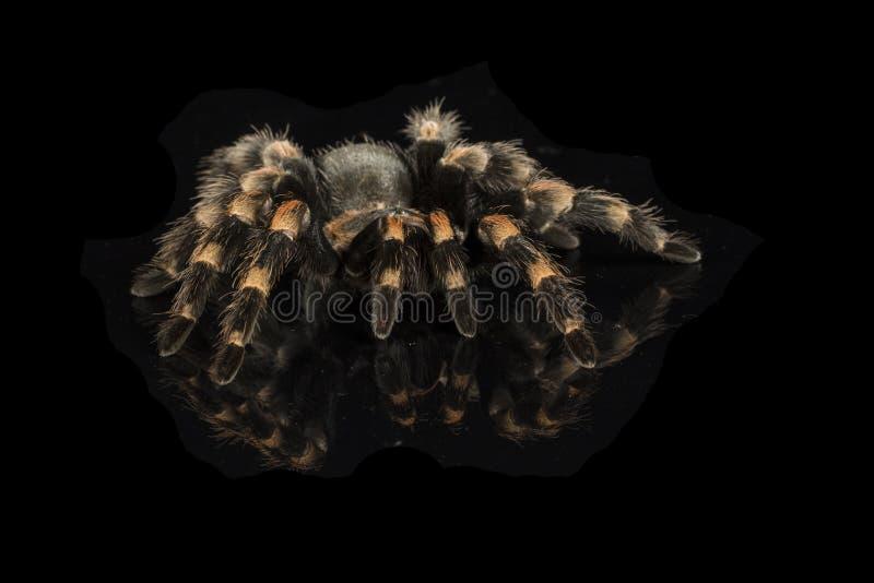 Tarantula mexicano del redknee fotografía de archivo libre de regalías