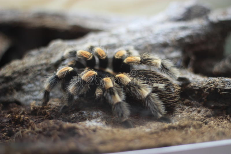 Tarantula pająk obrazy stock