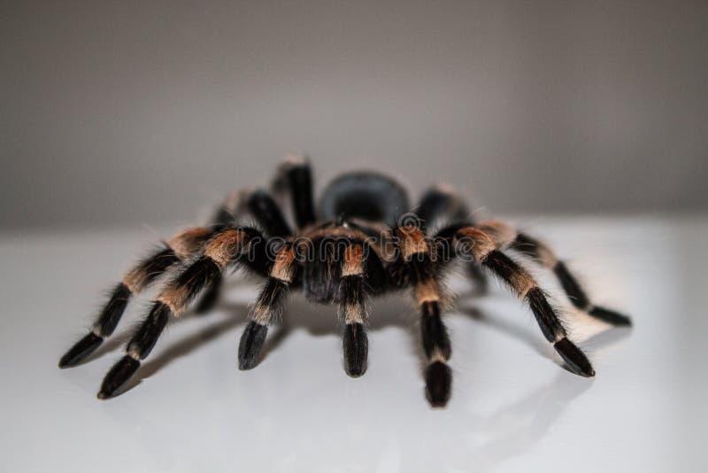 Tarantula pająk obraz royalty free