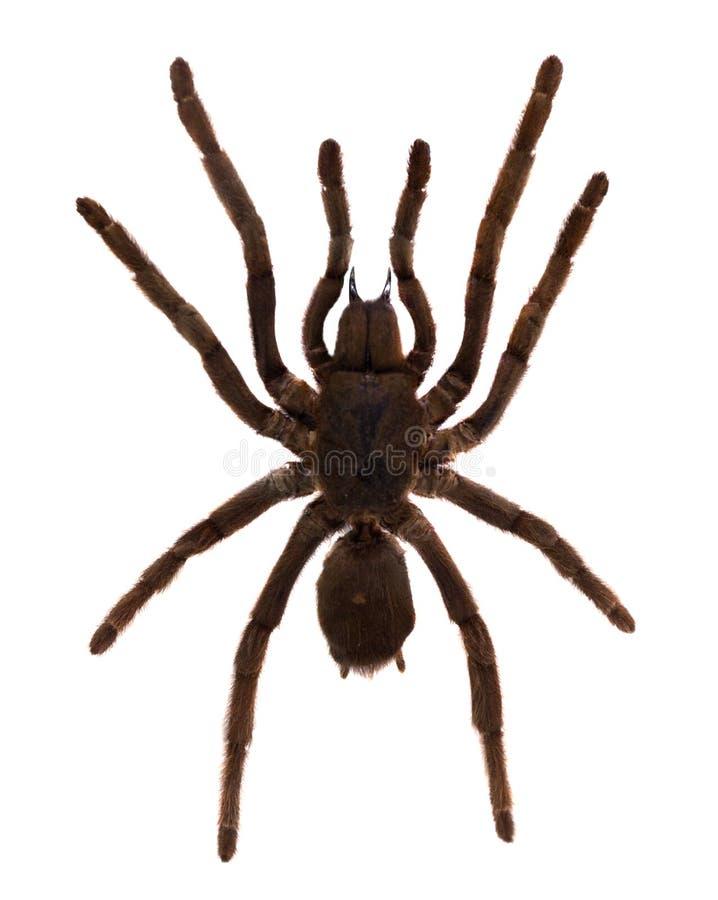 Tarantula pająk. Odizolowywający nad bielem zdjęcie stock