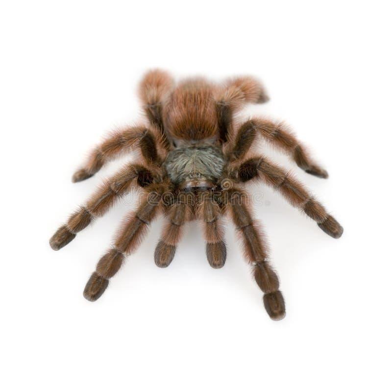 tarantula pinktoe Антильских островов стоковая фотография rf