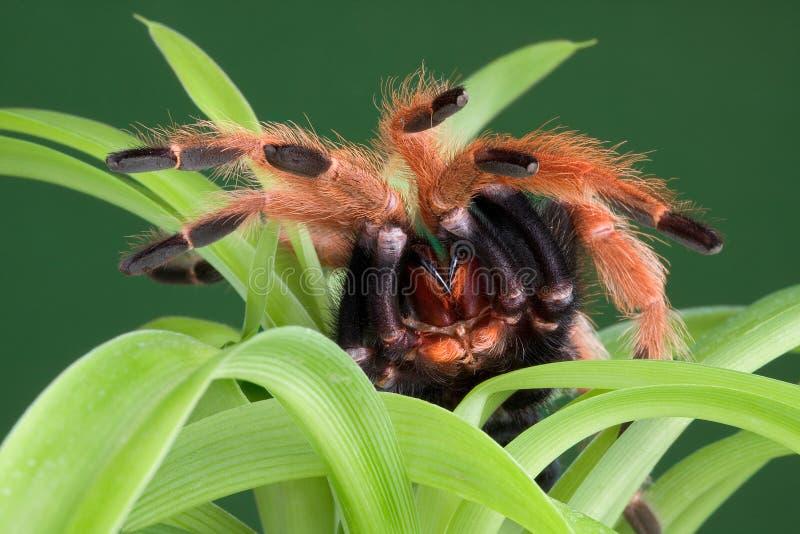 Tarantula On Plant Royalty Free Stock Photography