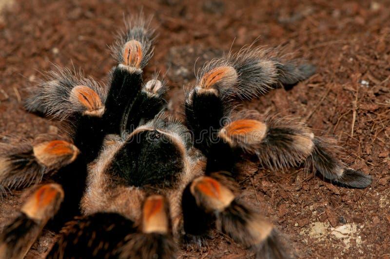 Tarantula rojo mexicano de la rodilla imagen de archivo