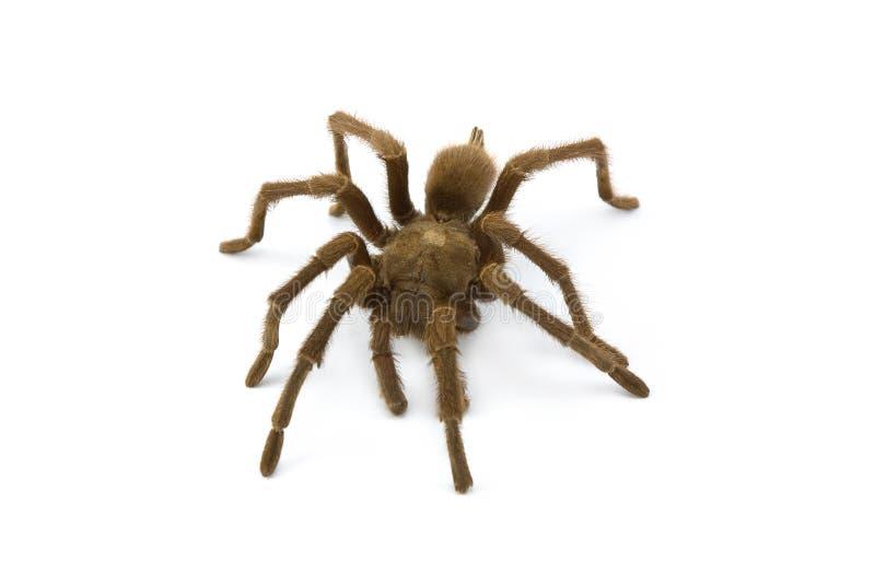 Tarantula, soort Aphonopelma royalty-vrije stock afbeeldingen