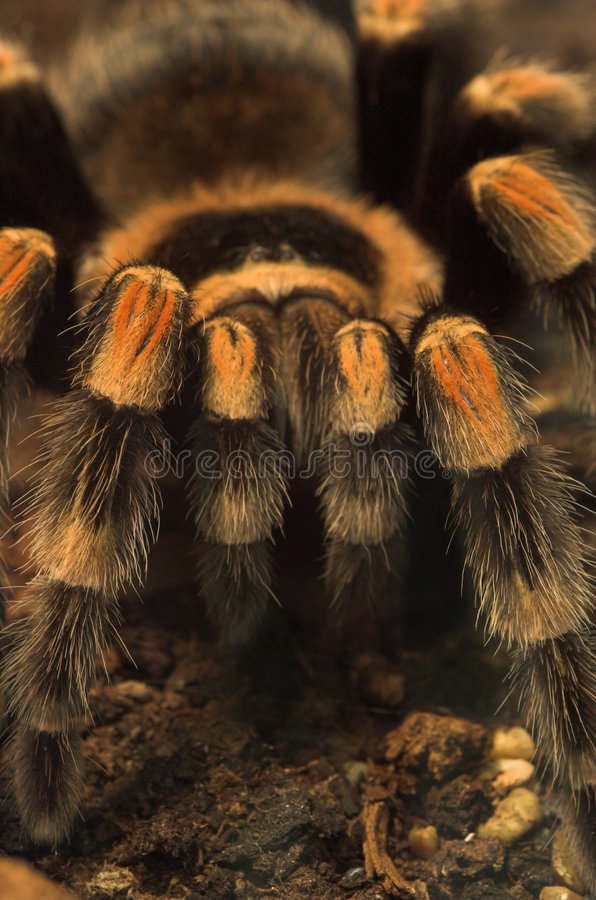 Tarantula spider. The Tarantula is a tropical and venomous spider royalty free stock photo