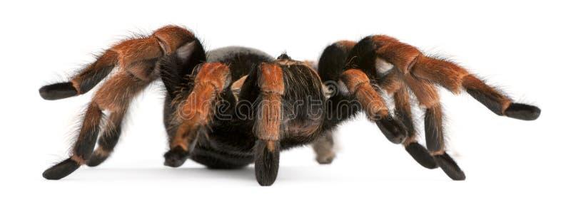Tarantula Spider, Brachypelma Boehmei Royalty Free Stock Images