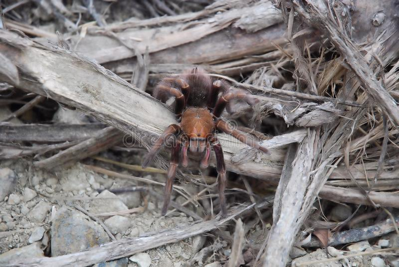 Tarantula spider between dry branches. Ecuador, South America royalty free stock photo