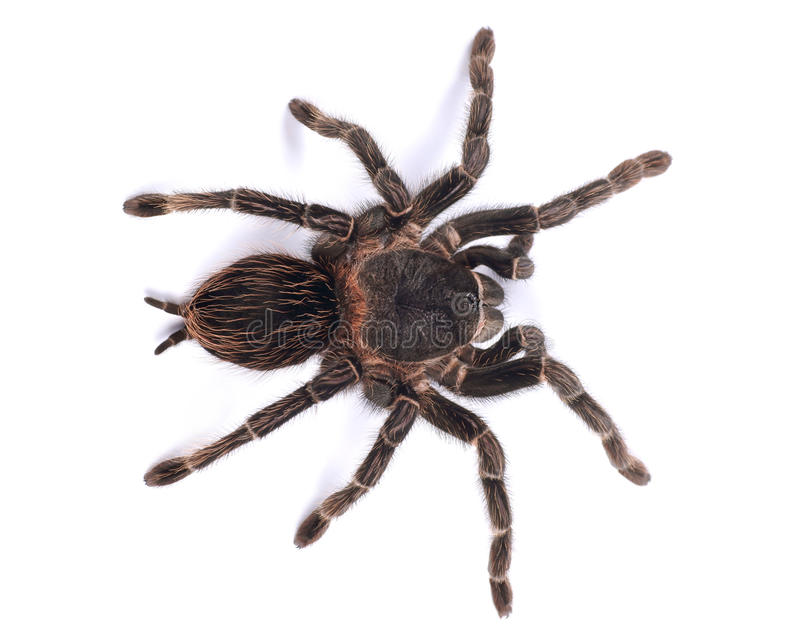Tarantula spider, female Lasiodora parahybana. Tarantula spider , female Lasiodora parahybana royalty free stock photo