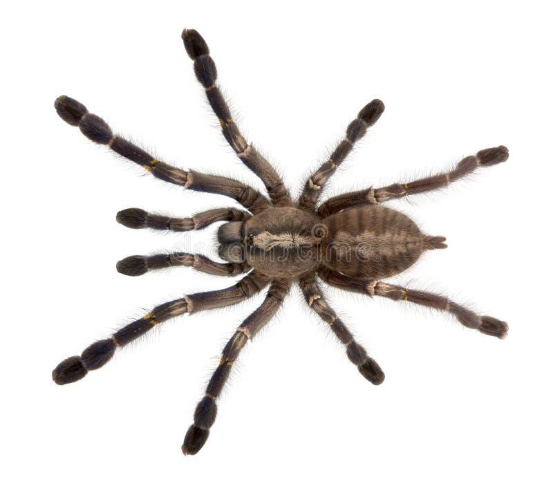 Download Tarantula Spider, Poecilotheria Metallica Stock Photo - Image: 18257450